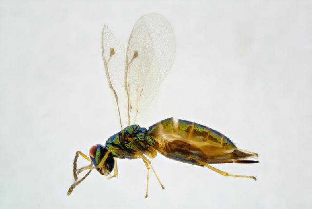 Image of <i>Dinotiscus isvicrensis</i>