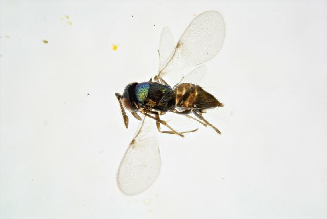 Image of <i>Copidosoma floridanum</i> (Ashmead 1900)
