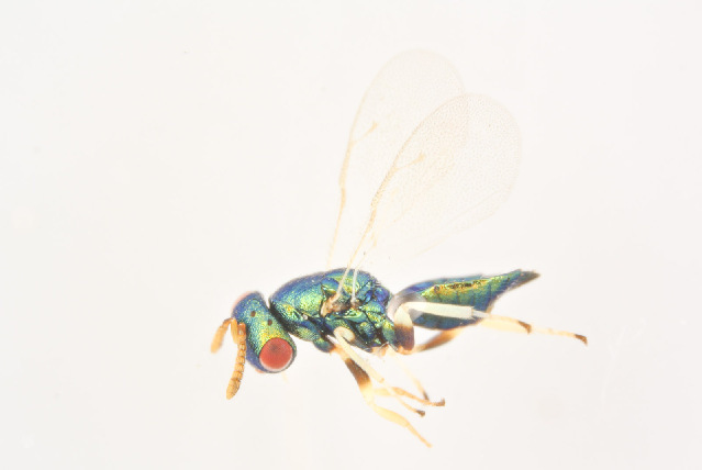 Image of <i>Mesopolobus morys</i> (Walker 1848)