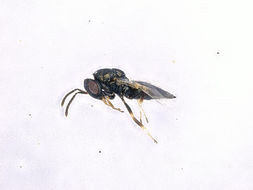 Image of <i>Pteromalus inclytus</i> Forster 1841