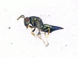 Image of <i>Pteromalus</i>