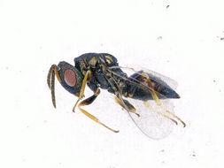 Image of <i>Pteromalus puparum</i> (Linnaeus 1758)