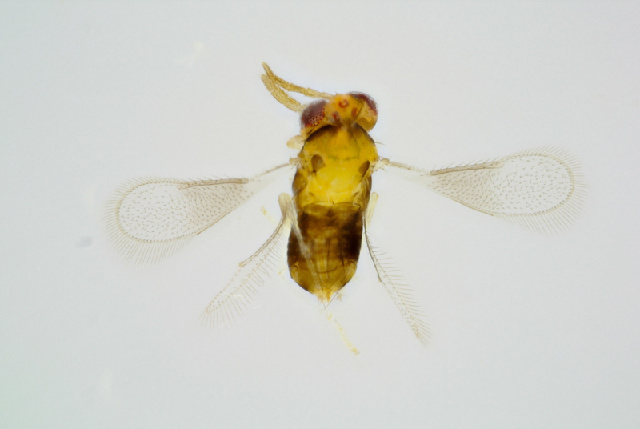 Image of Encarsia