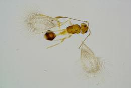 Image of Mymaromella