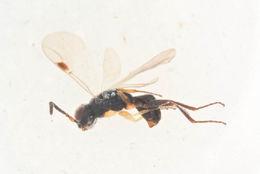 Image of <i>Aphelopus atratus</i>