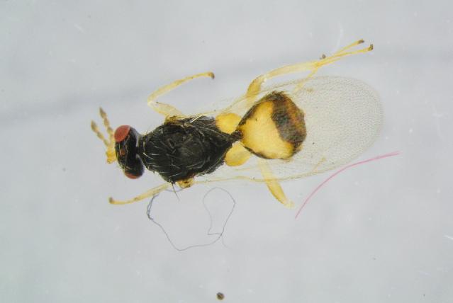 Image of <i>Euplectrus flavipes</i> (Fonscolombe 1832)