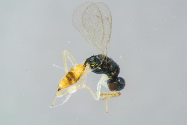 Image of <i>Elachertus lateralis</i> (Spinola 1808)