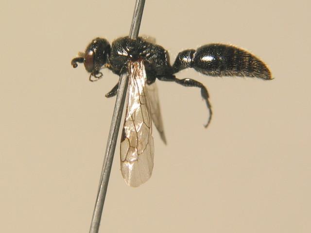 Image of Tiphia