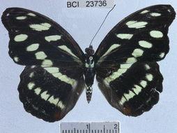 Image of <i>Catonephele orites</i> Stichel 1898