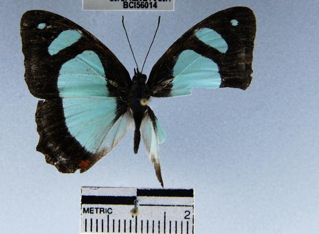 Image of <i>Pyrrhogyra crameri</i> Aurivillius
