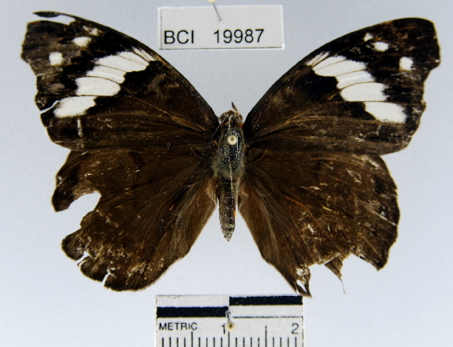 Image of <i>Eunica sydonia caresa</i>