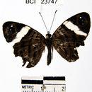 Image of <i>Ectima erycinoides</i> Felder 1867