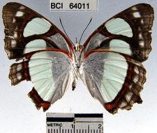 Image of <i>Pyrrhogyra neaerea</i> Linnaeus 1758