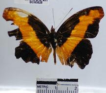 Image of <i>Catonephele nyctimus</i> Westwood 1850