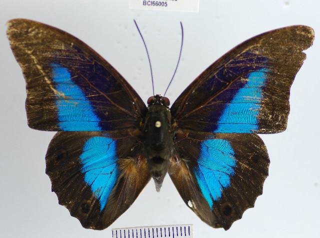 Image of <i>Prepona laertes demodice</i>