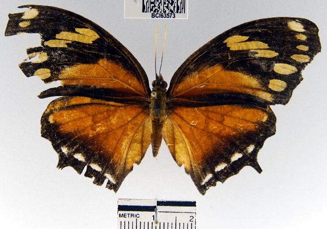 Image of <i>Consul fabius cecrops</i> Doubleday (1849)