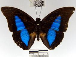 Image of <i>Prepona dexamenus</i> Hopffer 1874