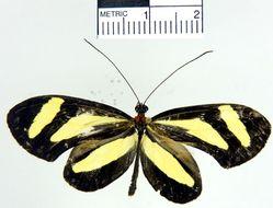 Image of <i>Aeria eurimedia agna</i> Doubleday, Hewitson & Westwood 1847