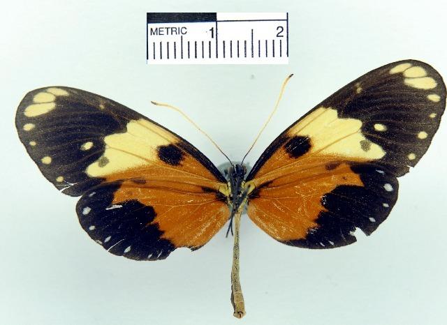 Image of <i>Hypothyris euclea valora</i> Haensch 1909