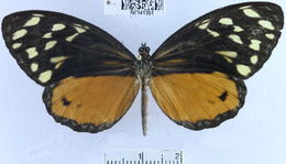 Image of <i>Tithorea harmonia irene</i> Drury 1782