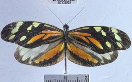 Image of <i>Dismorphia amphione praxinoe</i>
