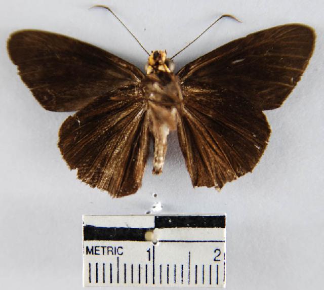 Image of <i>Hyalothyrus</i>