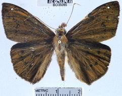 Image of <i>Salatis canalis</i> Skinner 1920