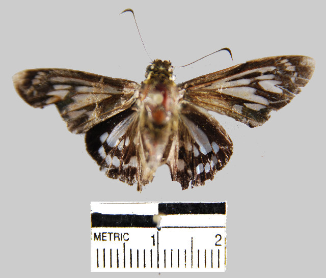 Image of <i>Phanus albiapicalis</i>