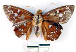 Image of <i>Bungalotis diophorus</i> Möschler 1882