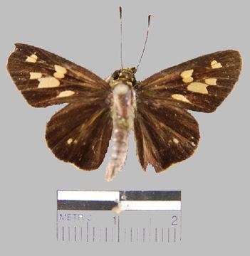 Image of <i>Turesis complanula</i>