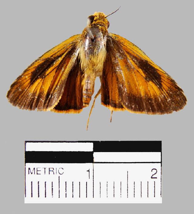 Image of <i>Synapte silius</i> Latreille 1824