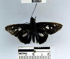 Image of <i>Vettius phyllus</i> Cramer 1777