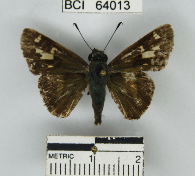 Image of <i>Oxynthes corusca</i> Herrich-Schäffer 1869