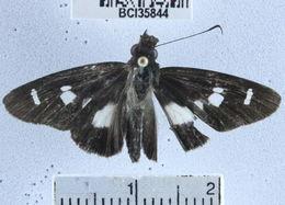 Image of <i>Cobalus calvinia</i>