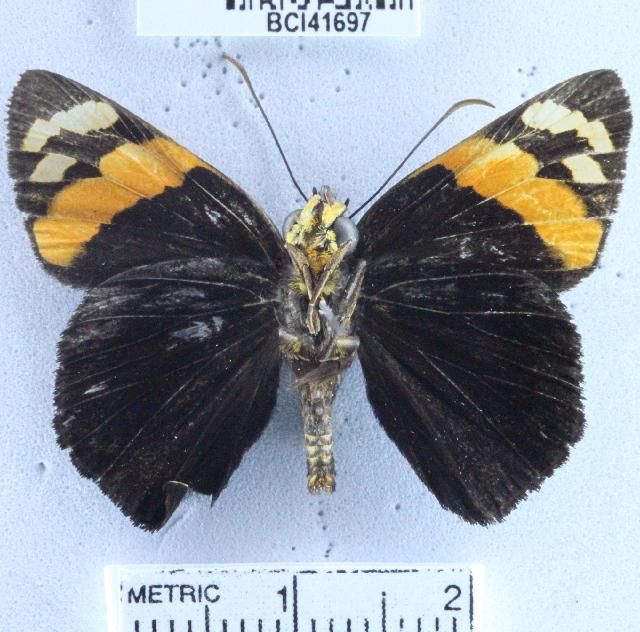 Image of <i>Entheus matho</i> Godman & Salvin 1879