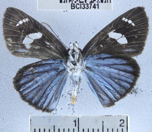 Image of <i>Pythonides jovianus</i> Stoll 1782