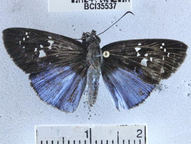Image of <i>Pythonides grandis assecla</i> Mabille 1883