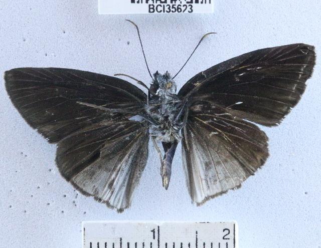 Image of <i>Anastrus <i>neaeris</i></i> neaeris