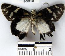 Image of <i>Entheus matho aeguatorius</i>