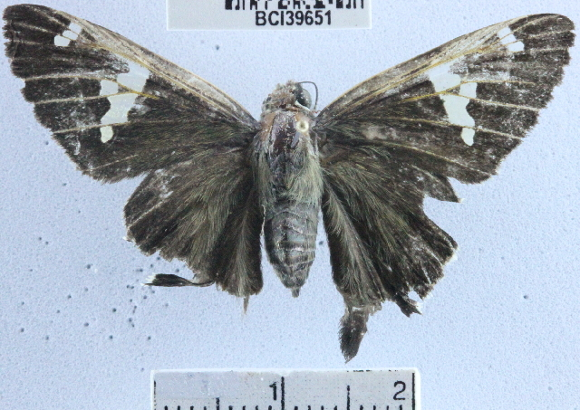 Image of <i>Cephise guatemalensis</i>