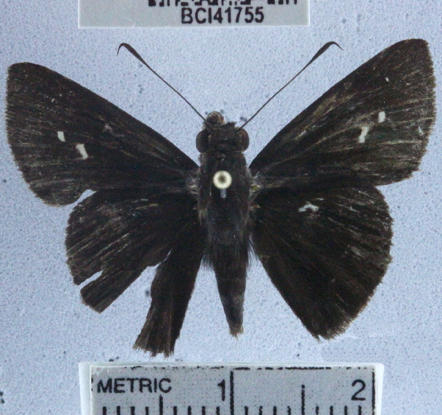 Image of <i>Quinta locutia</i> Hewitson 1876