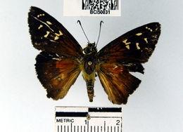 Image of <i>Augiades crinisus</i> Cramer 1780