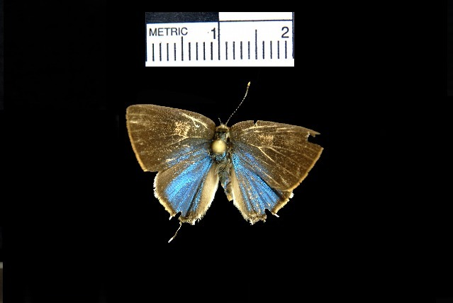 Image of Tmolus