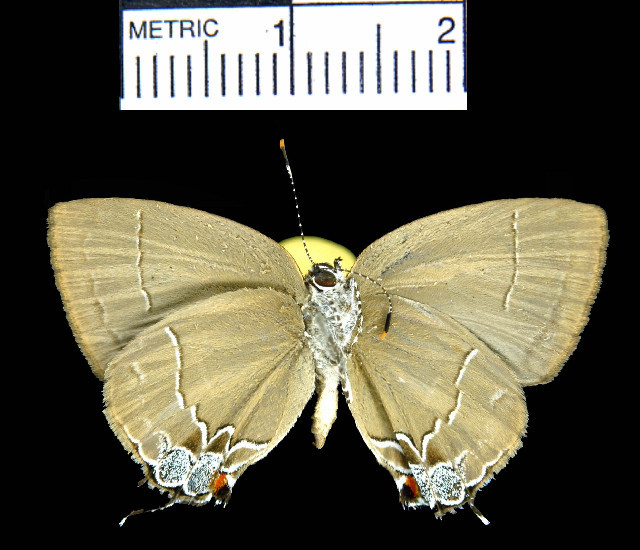 Image of <i>Symbiopsis tanais</i> (Godman & Salvin 1887)
