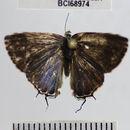 Image of <i>Arumecla galliena</i>