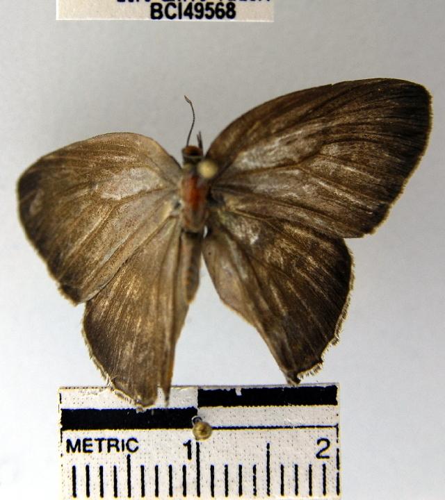 Image of <i>Evenus temathea</i>