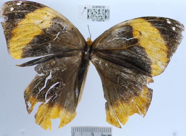 Image of <i>Catoblepia berecynthia midas</i> Stichel 1908