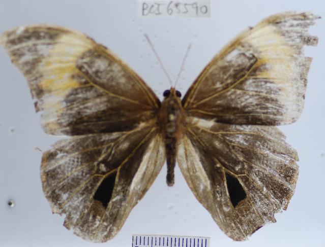 Image of <i>Selenophanes <i>josephus</i></i> ssp. josephus