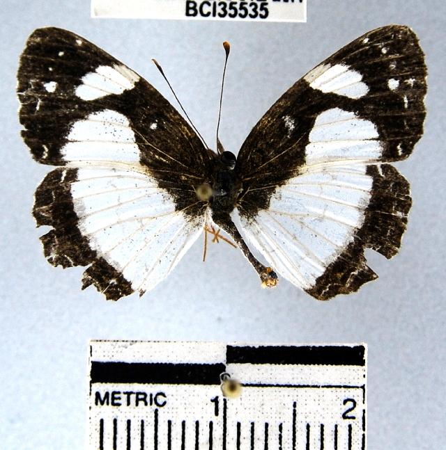 Image of <i>Janatella leucodesma</i> Felder 1861
