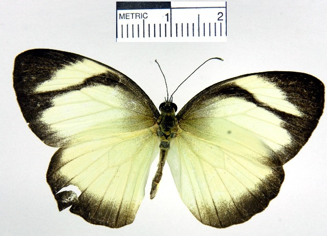 Image of <i>Itaballia</i>